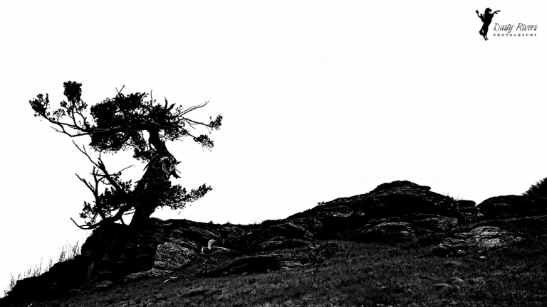 Landscape tree black and white - JOshua tree - Dusty Rivers Photography