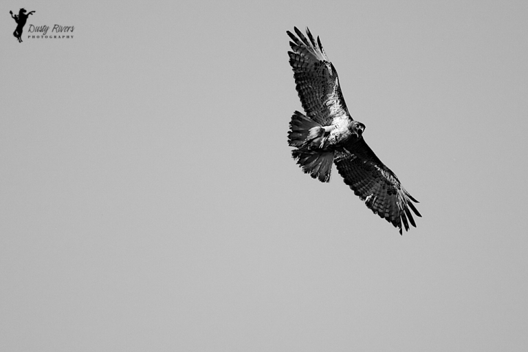 red tailed hawk screeching black and white prairies dustyriversphotography
