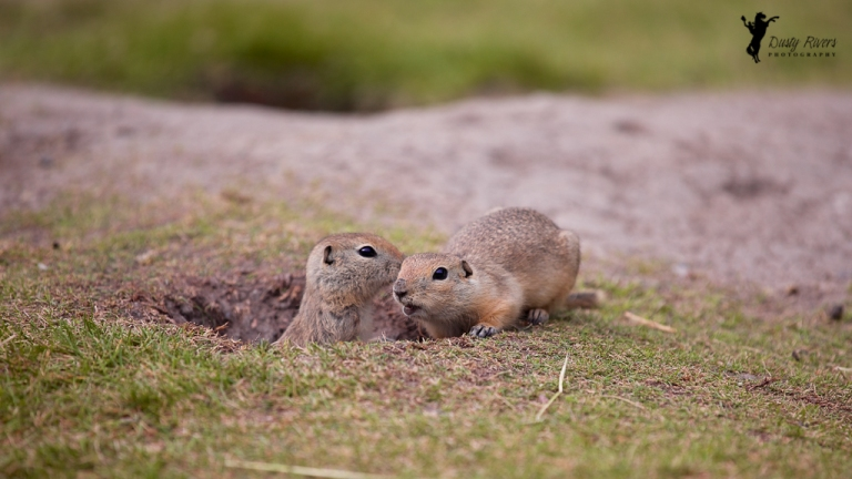 2 friendly prairie dogs gopher fish creek park calgary alberta dusty rivers photography