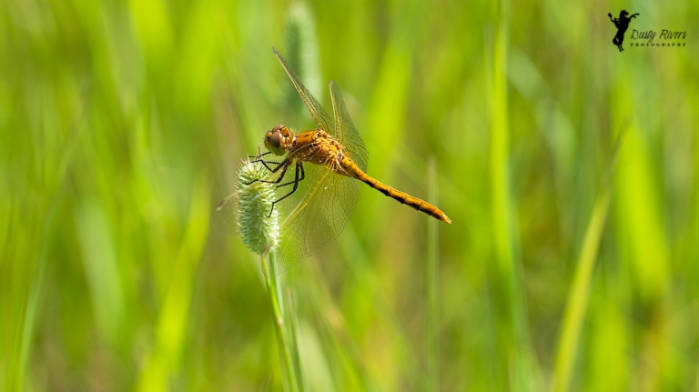 dragon fly close up macro north glenmore park calgary alberta dusty rivers photography