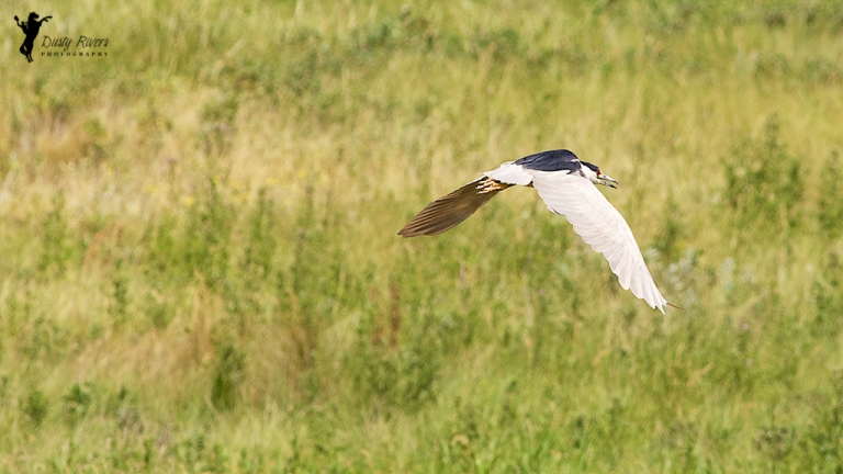 telephoto black crowned night heron bird flying Calgary Alberta dustyriversphotography