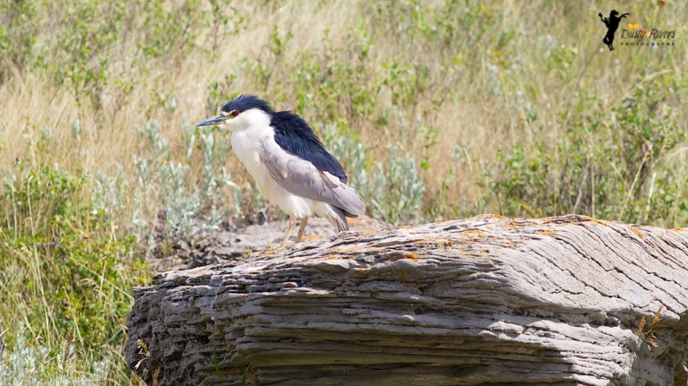 telephoto black crowned night heron bird on a rock Calgary Alberta dustyriversphotography