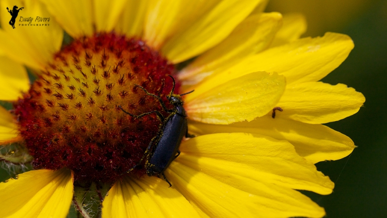 yellow flower pollen black bug close up macro north glenmore park calgary alberta dusty rivers photography