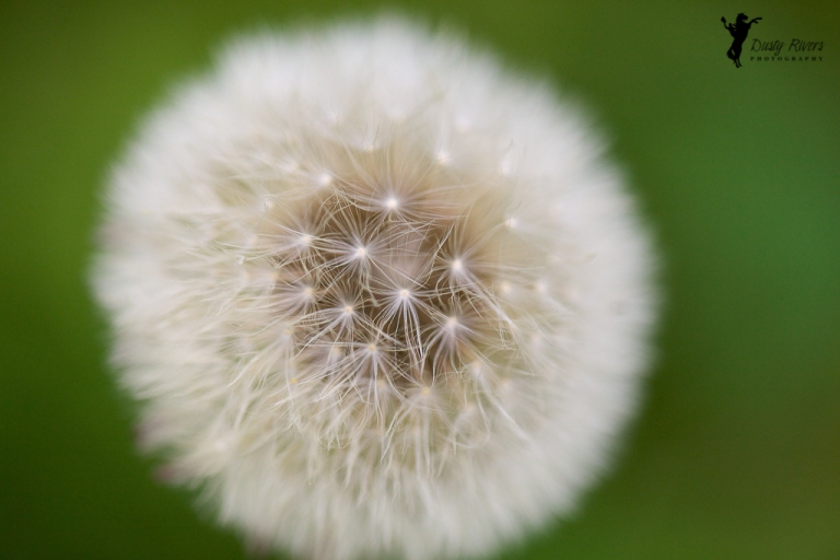 Dandilion Close up macro Wetaskiwan Alberta Canada dustyriversphotography