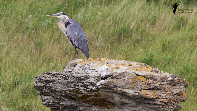 Great Blue Heron bird Airdrie Alberta Canada dustyriversphotography