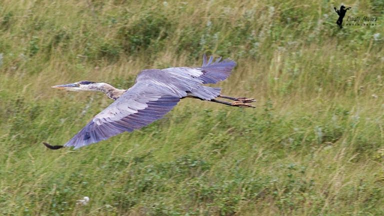Great Blue Heron flying bird Airdrie Alberta Canada dustyriversphotography