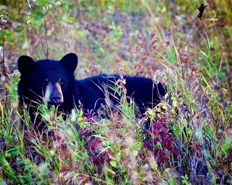 Black bear, Okotoks, Alberta, Canada, dustyriversphotography