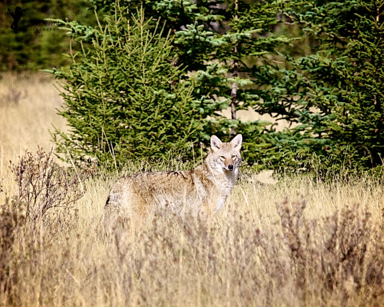 Coyote, Banff, Alberta, Canada, dustyriversphotography