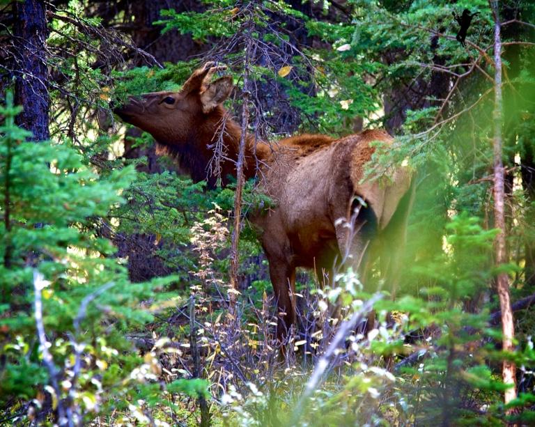 Elk, Banff, Alberta, Canada, dustyriversphotography