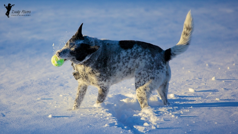 Blue Heeler cross 2, dog, snow bath, playig catch, Calgary, yyc, Alberta, Canada, dustyriversphotography