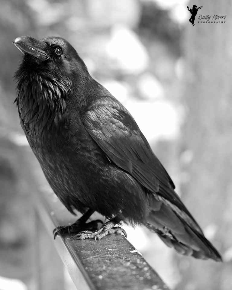 Raven, close up, full profile, Johnston Canyon, Banff, black and white raven, black and white, yyc, Alberta, Canada, dustyriversphotography
