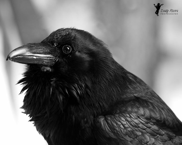 Raven, close up, Johnston Canyon, Banff, black and white raven, black and white, yyc, Alberta, Canada, dustyriversphotography