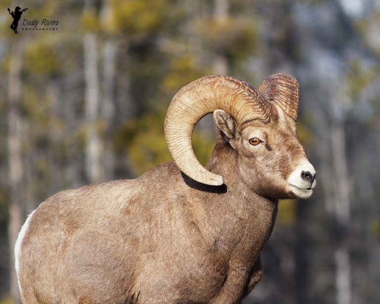 Mountain Sheep Ram 2, Ram, close up, Kananaskis country, 400mm, canon, Calgary, yyc, Alberta, Canada, dustyriversphotography