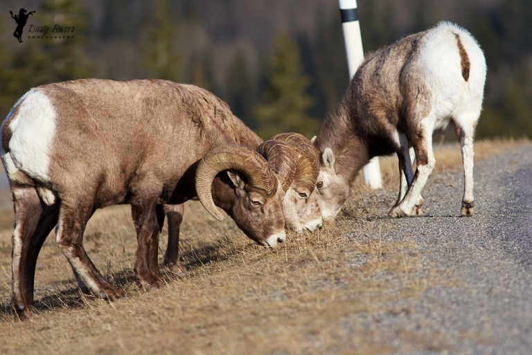 Mountain Sheep, ram, Kananaskis country, 400mm, canon, Calgary, yyc, Alberta, Canada, dustyriversphotography