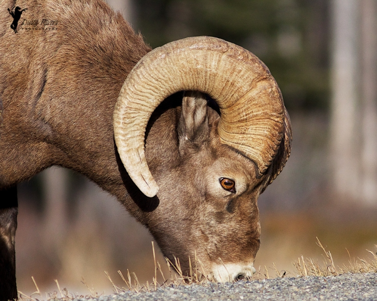 Mountain Sheep Ram, ram close up, Kananaskis country, 400mm, canon, Calgary, yyc, Alberta, Canada, dustyriversphotography
