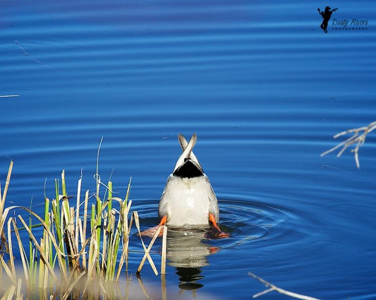 Ducks ass, Weaselhead, Calgary, yyc, Alberta, Canada, dustyriversphotography