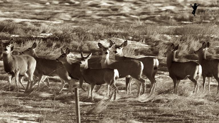 herd of deer, sepia tone, Balzac, 400mm, 60D, canon, Calgary, yyc, Alberta, Canada, dustyriversphotography