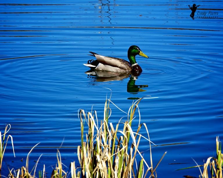 Male Mallard Duck, Weaselhead, Calgary, yyc, Alberta, Canada, dustyriversphotography