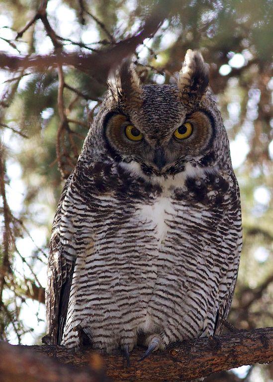 Big Owl in My Backyard - Dusty Rivers Photography