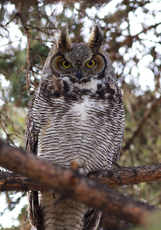 Great Horned Owl 4, Calgary, YYC, Dusty Rivers Photography, dustyriversphotography.com