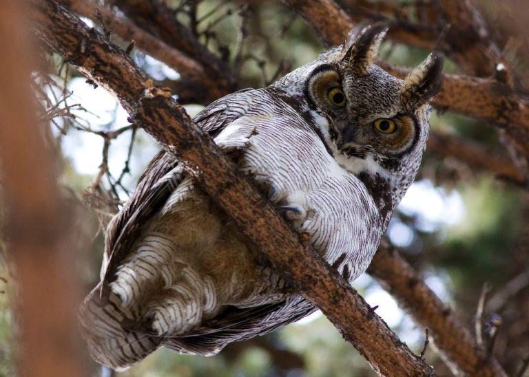 Great Horned Owl, Calgary, YYC, Dusty Rivers Photography, dustyriversphotography.com