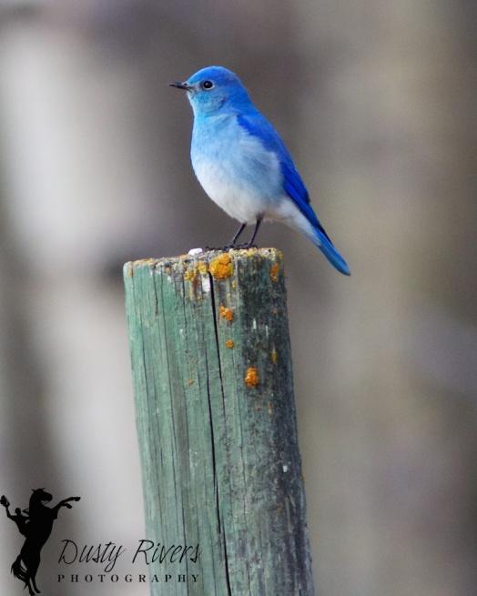 Mountain Bluebird, bokeh, Dusty Rivers Photography, dustyriversphotography.com