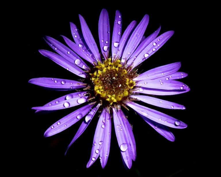 Arctic Astor, wild mountian flower, rain soaked petals, purple, night shot, led lighting, macro photography, YYC, Dusty Rivers Photography, dustyriversphotography,com