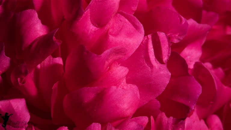 Peony, Macro, flower, flower petals, magenta, Calgary, YYC, Dusty Rivers Photography, dustyriversphotography.com