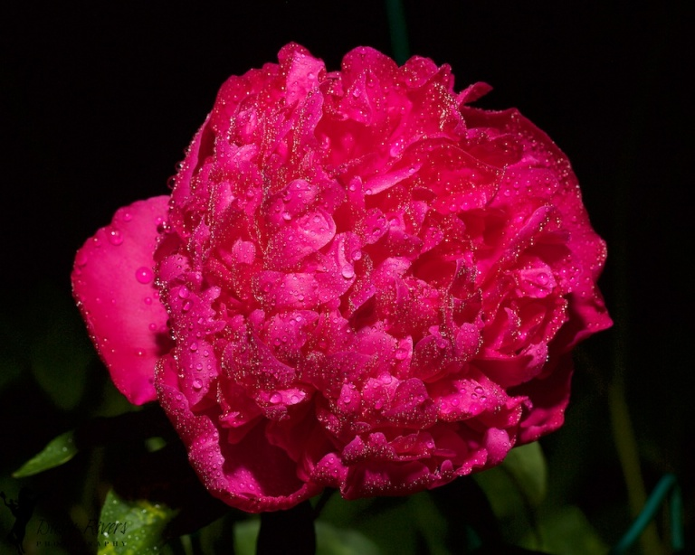 Peony, water soaked, Macro, flower, flower petals, magenta, Calgary, YYC, Dusty Rivers Photography, dustyriversphotography.com