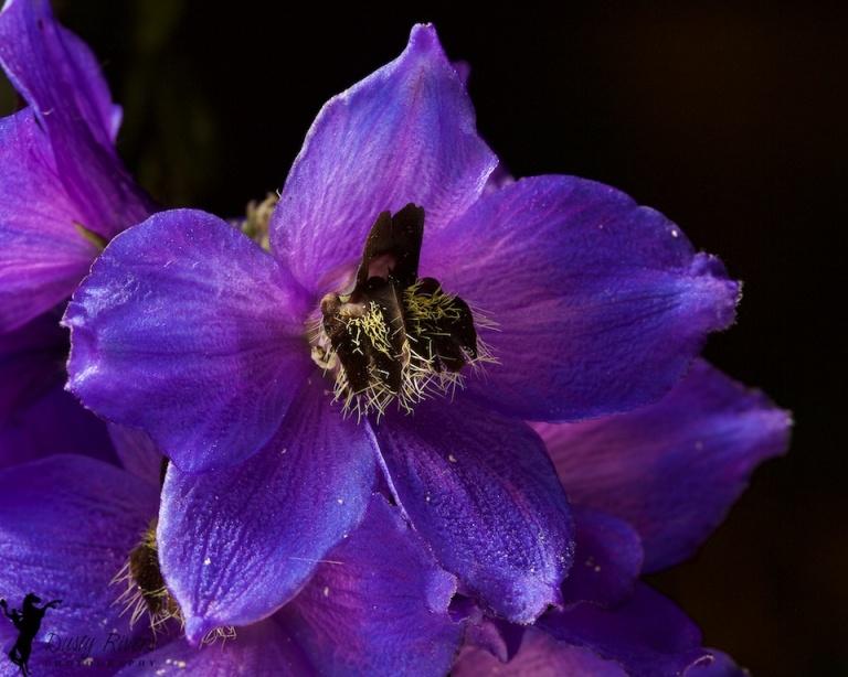 Backyard flowers, macro, purple flowers, Calgary, Alberta, Canada, Dusty Rivers Photography, dustyriversphotography.com